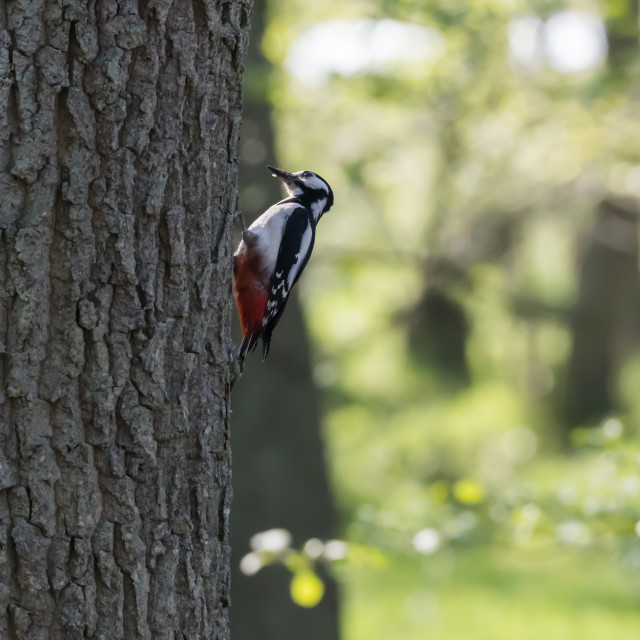 """""""Great Spotted Woodpecker in natural habitat"""" stock image"""