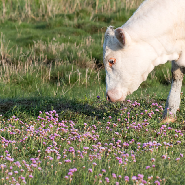 """""""Grazing white cow among pink flowers"""" stock image"""
