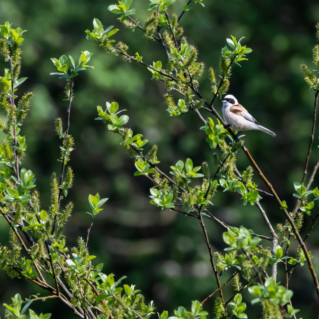 """""""Beautiful Penduline Tit by springtime amongst green leaves"""" stock image"""