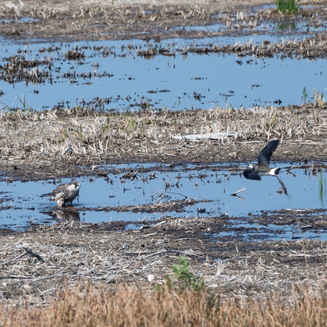 """""""Peregrine Falcon standing in a wetland and being attacked by a l"""" stock image"""