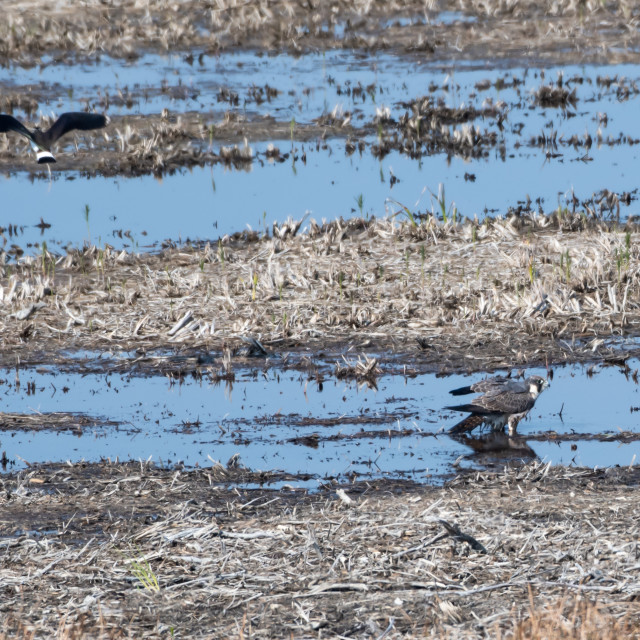 """""""Peregrine Falcon standing in a wetland and just been attacked by"""" stock image"""