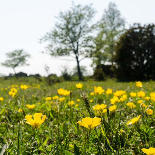 """""""Blossom yellow Buttercups closeup in a green landscape"""" stock image"""