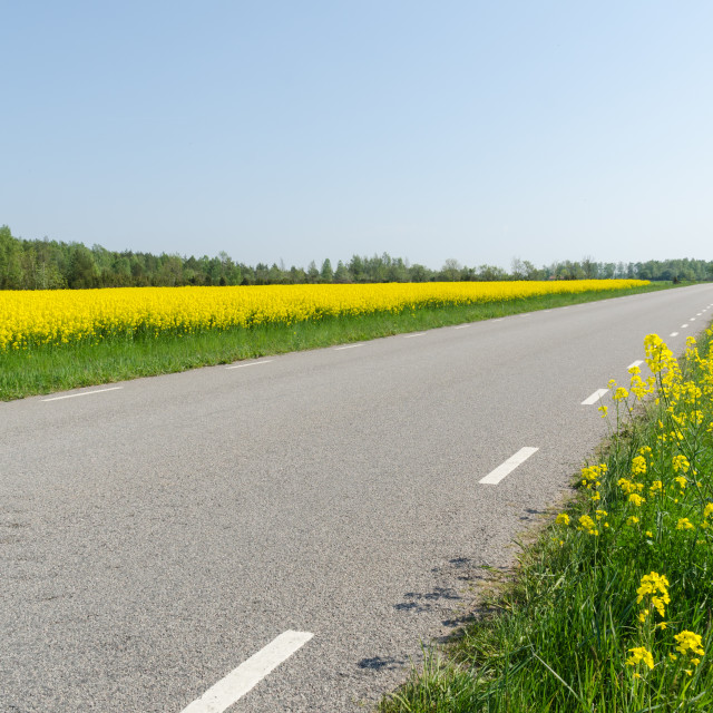 """""""Country road with blossom rape seed fields by road side"""" stock image"""