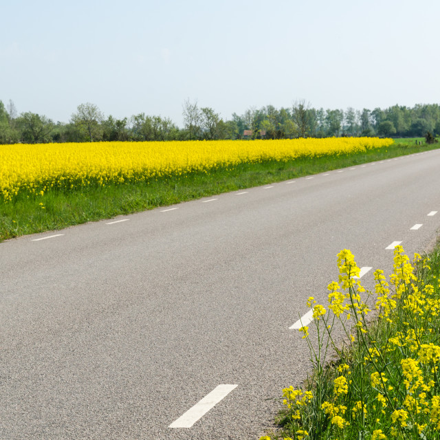 """""""Country road surrounded by blossom rape seed"""" stock image"""