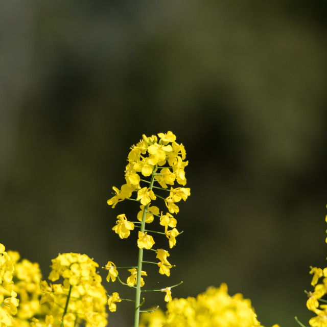 """""""Blossom rapeseed flower by a natural green and blurred backgroun"""" stock image"""