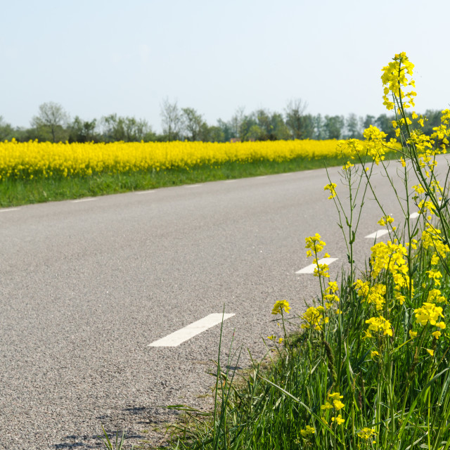"""""""Blossom rape seed plants and a rape seed field by a country road"""" stock image"""