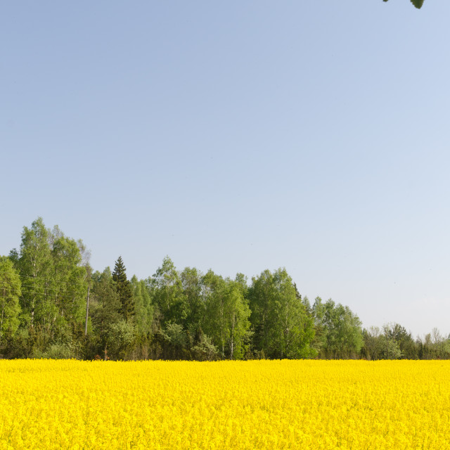 """""""Blossom rape seed field by a cloudless blue sky"""" stock image"""