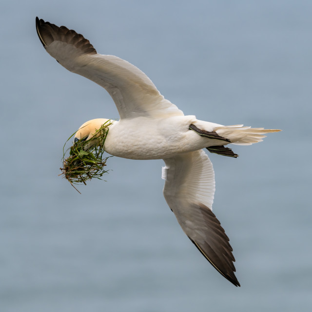 """""""Flying Gannet with nesting material"""" stock image"""