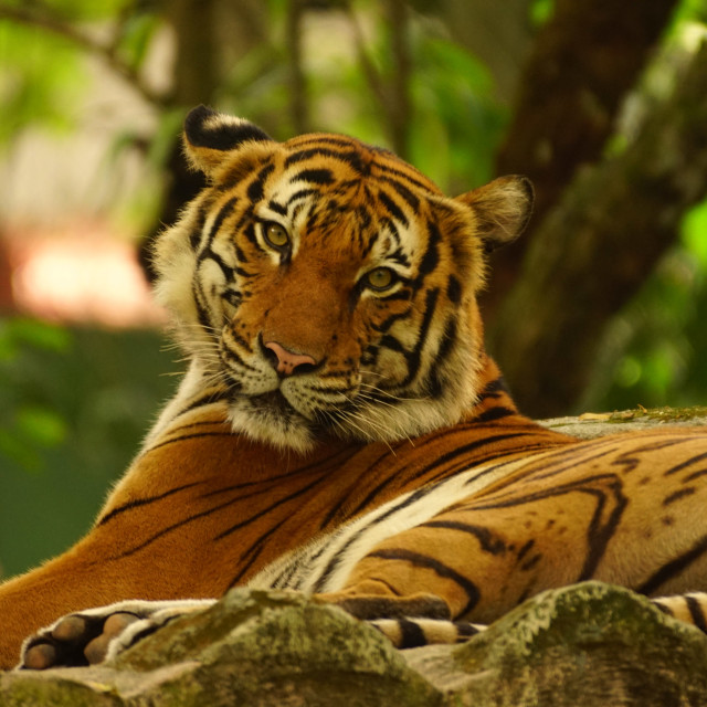 """Tiger in the Zoo"" stock image"