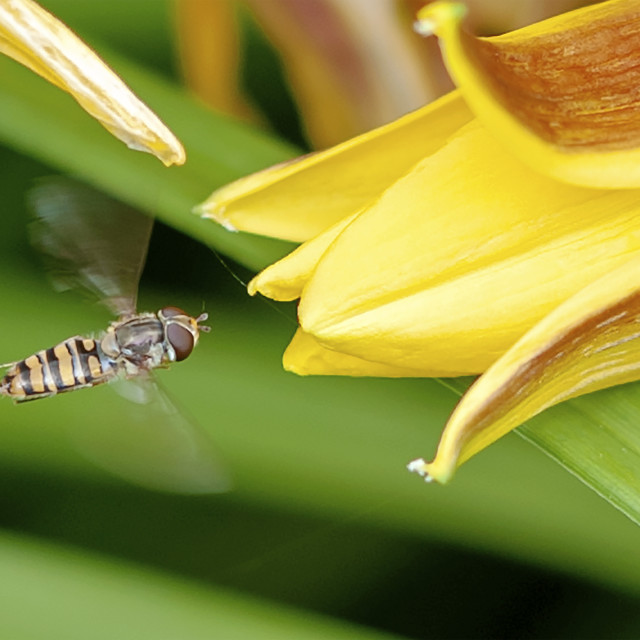 """""""Hovering fly"""" stock image"""