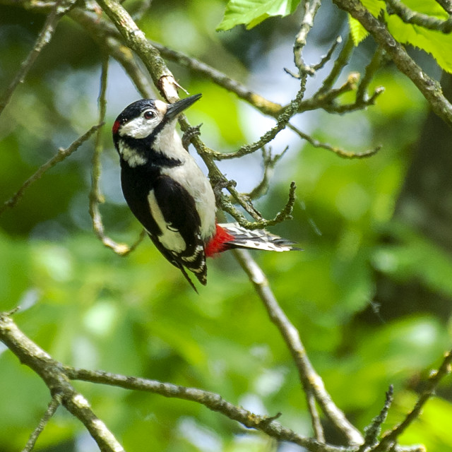 """Greater Spotted Woodpecker"" stock image"