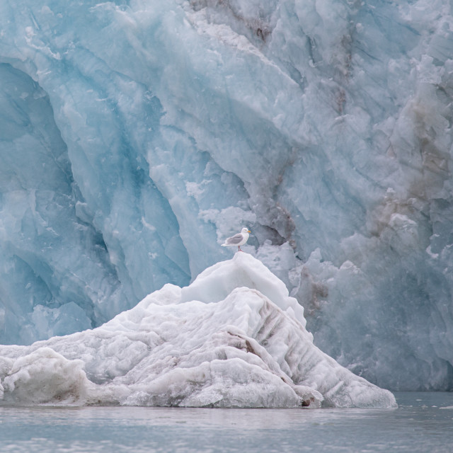 """""""Gull on the Glacier"""" stock image"""