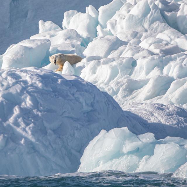 """Polar bear on the glacial ice"" stock image"