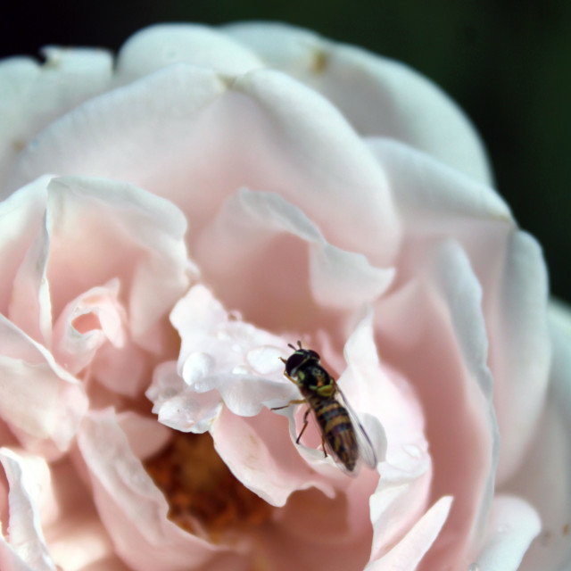 """""""bee on pink rose"""" stock image"""