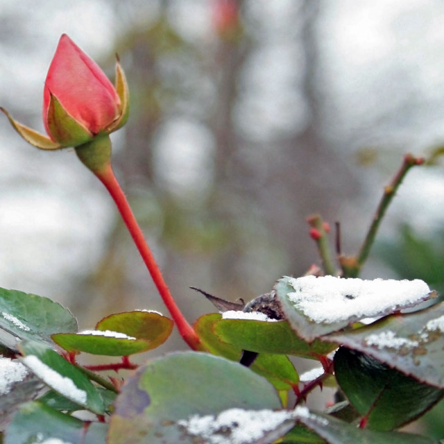 """pink rose and snow"" stock image"