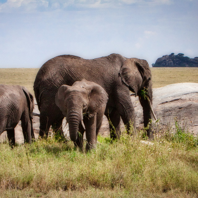 """Snacking on the Serengeti"" stock image"