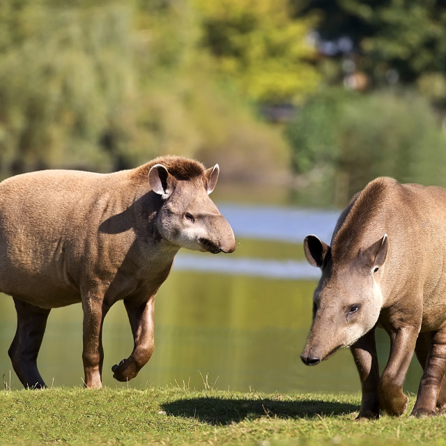 """Tapirs in a clearing"" stock image"