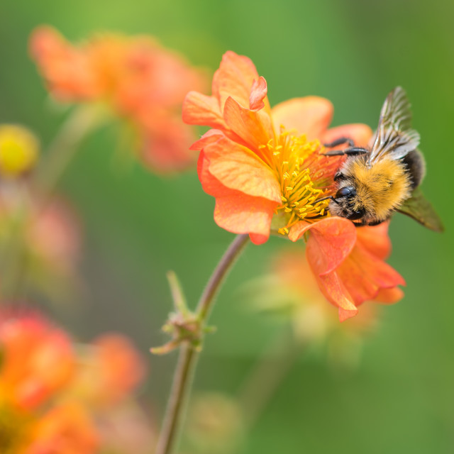 """""""Bee on a Tangerine Geum"""" stock image"""