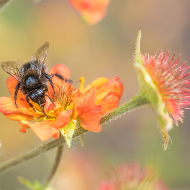 """""""Bee on a Geum"""" stock image"""
