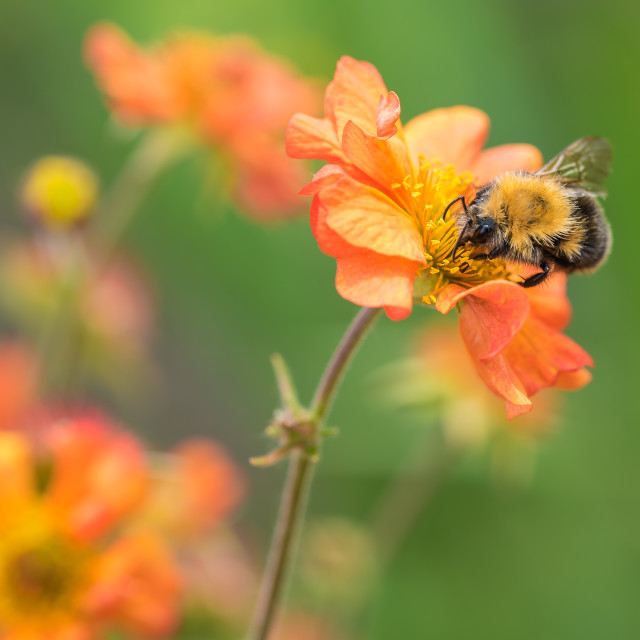 """""""Honey Bee on a Geum flower"""" stock image"""
