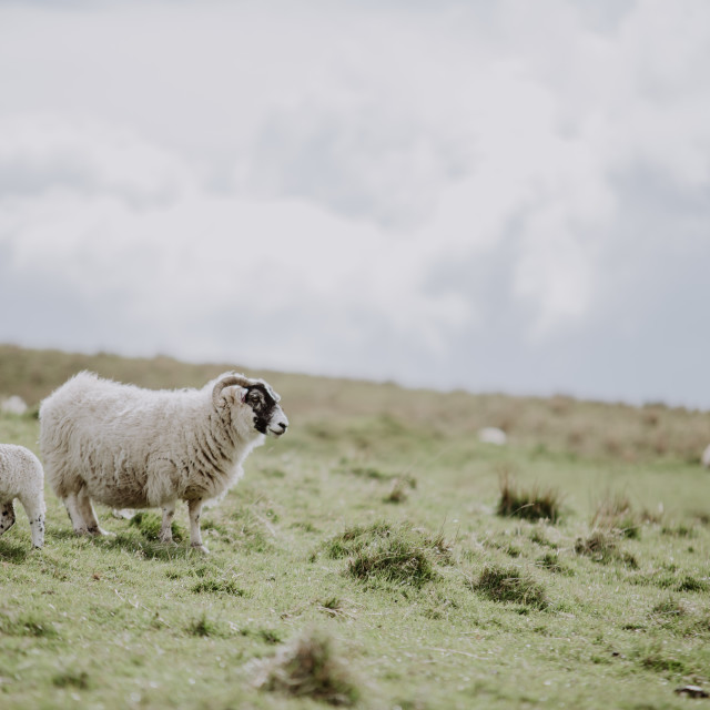 """Sheep in scotland"" stock image"