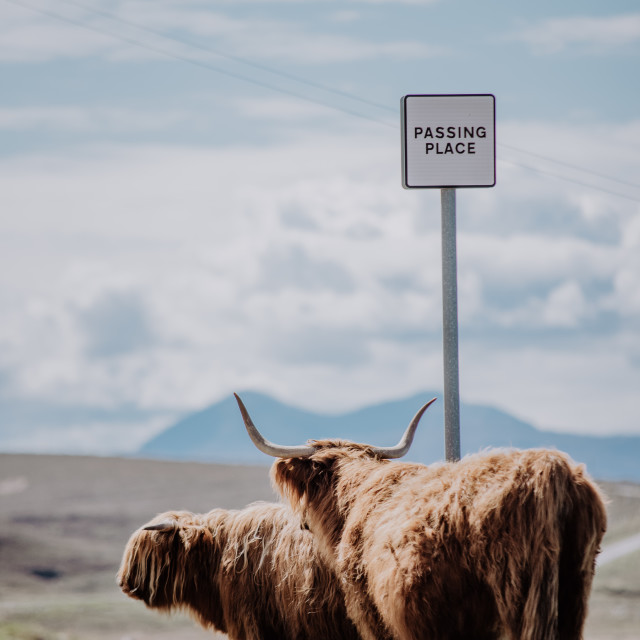 """""""Highland cattles at a """"passing place"""" in Scotland"""" stock image"""
