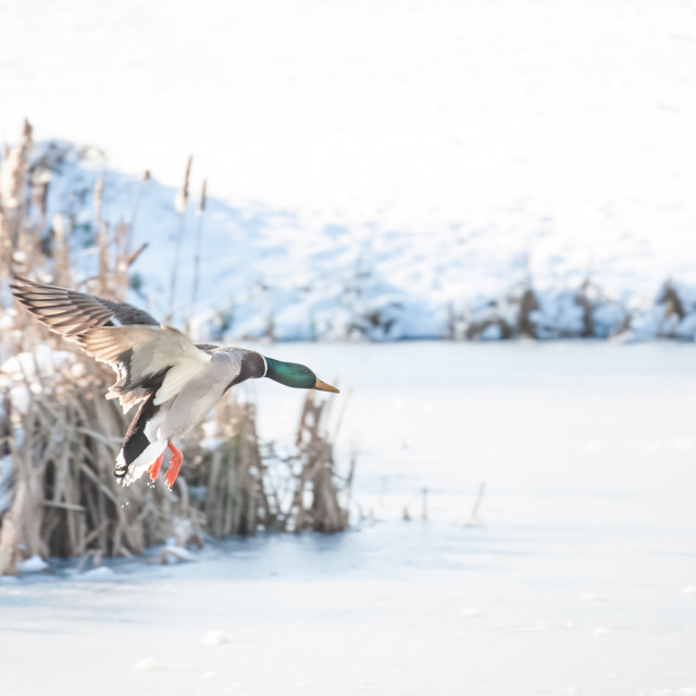 """duck landing on ice"" stock image"