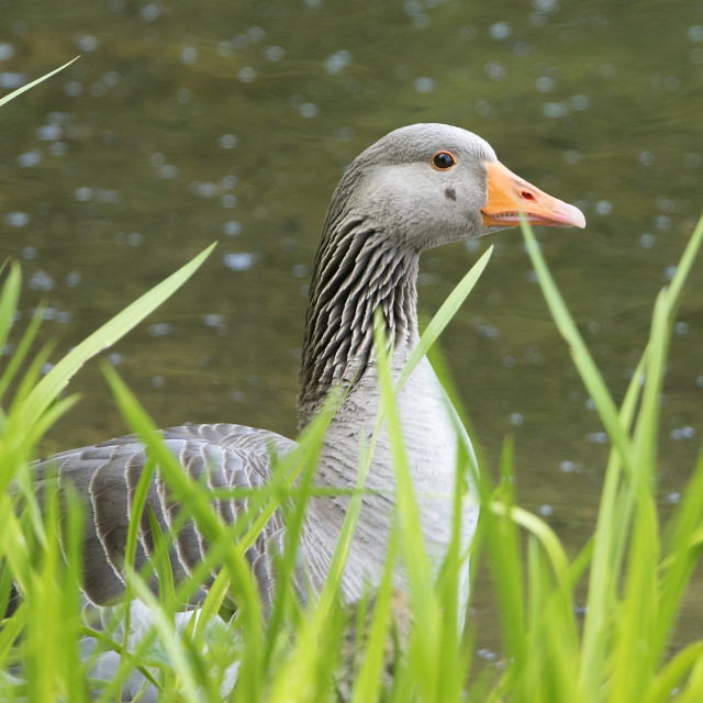 """""""Greylag Goose in reeds"""" stock image"""