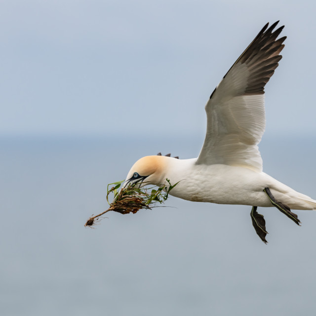 """""""Gannet in Flight with Nesting Material, Bempton Cliffs, Yorkshire. England"""" stock image"""