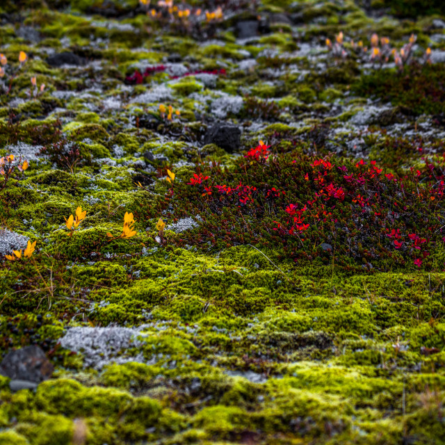 """""""Icelandic Moss and Shrubs in Autumn"""" stock image"""