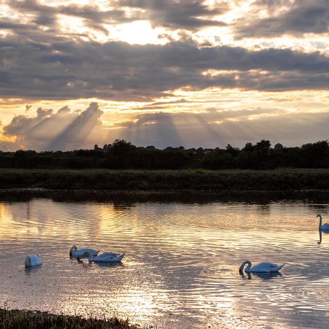 """Sunlit swans"" stock image"