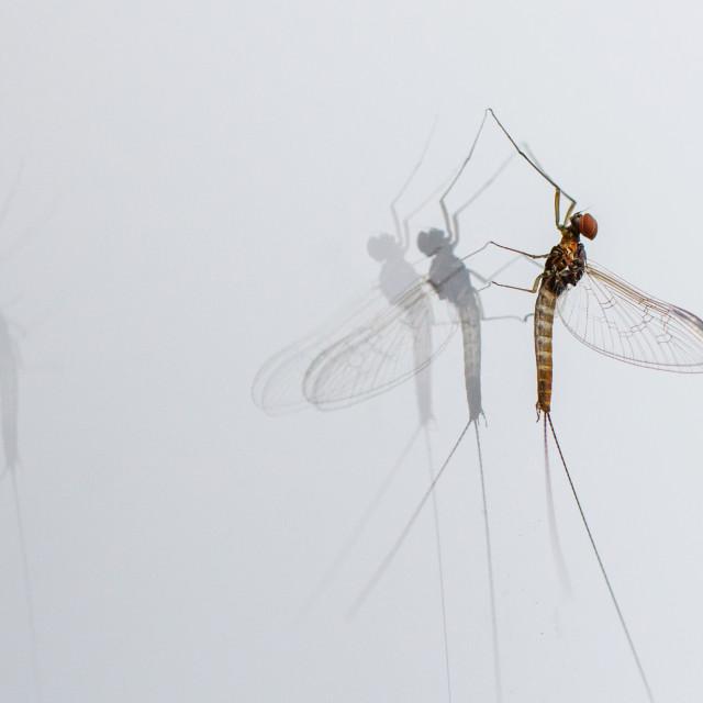 """Cloeon Mayfly on my window"" stock image"