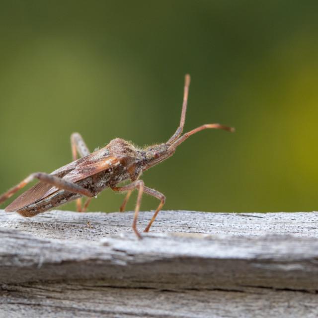 """Western Conifer Seed Bug - Leptoglossus occidentalis"" stock image"