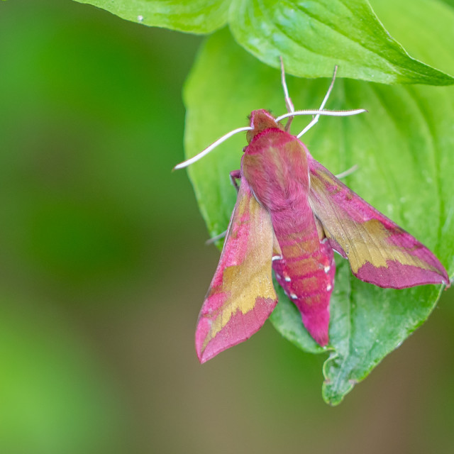 """Small elephant hawk-moth - Deilephila porcellus"" stock image"