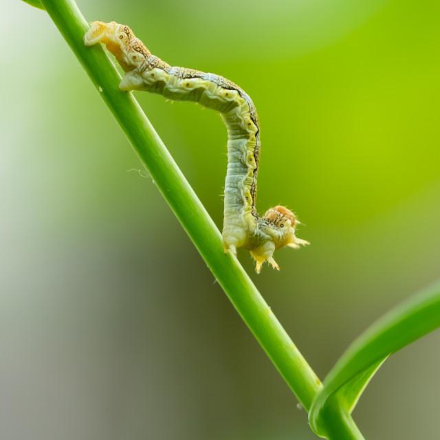 """Mottled umber moth caterpillar - Erannis defoliaria"" stock image"