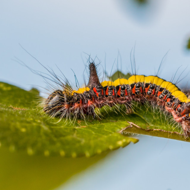 """Colorful hairy horned caterpillar"" stock image"