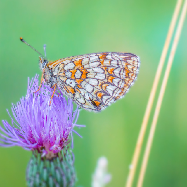 """Melitaea Brush-footed Butterfly"" stock image"