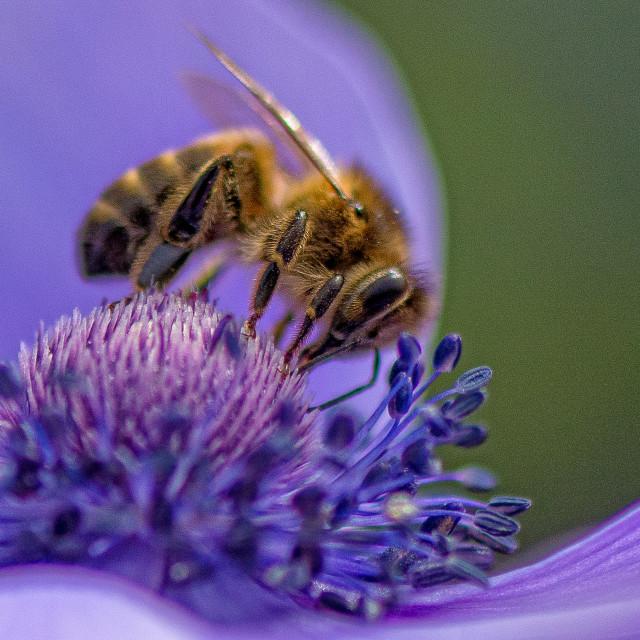 """Honey Bee"" stock image"