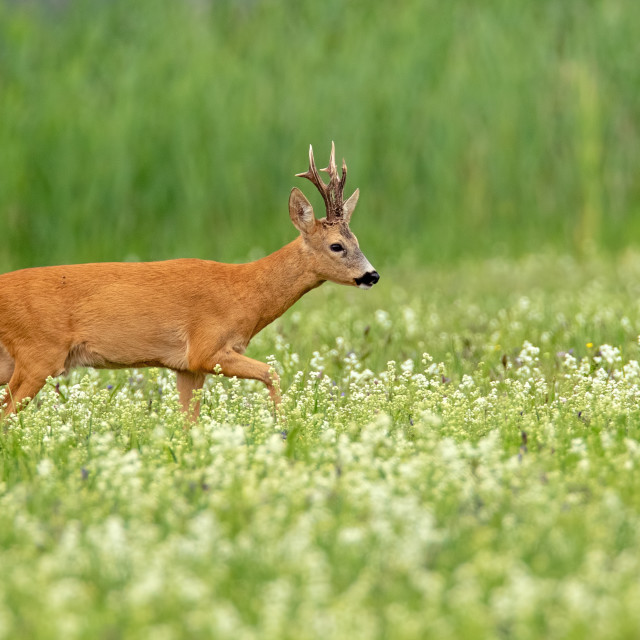 """Roe deer buck with dark antlers walking on a meadow in summer with copy space"" stock image"