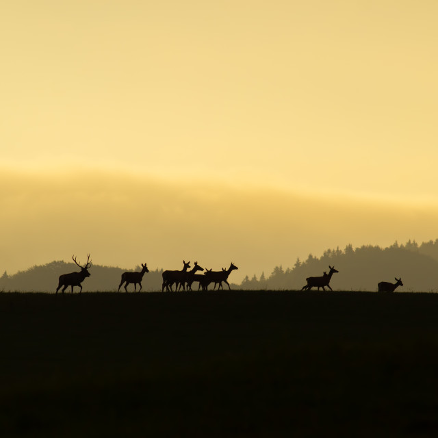 """Herd of red deer with does and stag walking at the end at sunset on a horizon"" stock image"