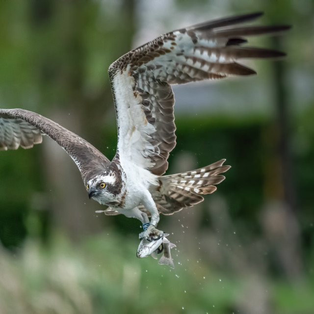 """OSPREY IN FLIGHT WITH FISH"" stock image"