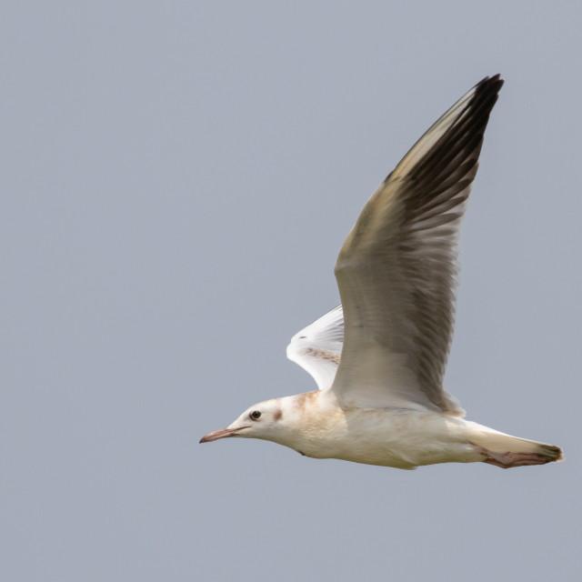"""""""Slender-billed Gull, Chroicocephalus genei"""" stock image"""