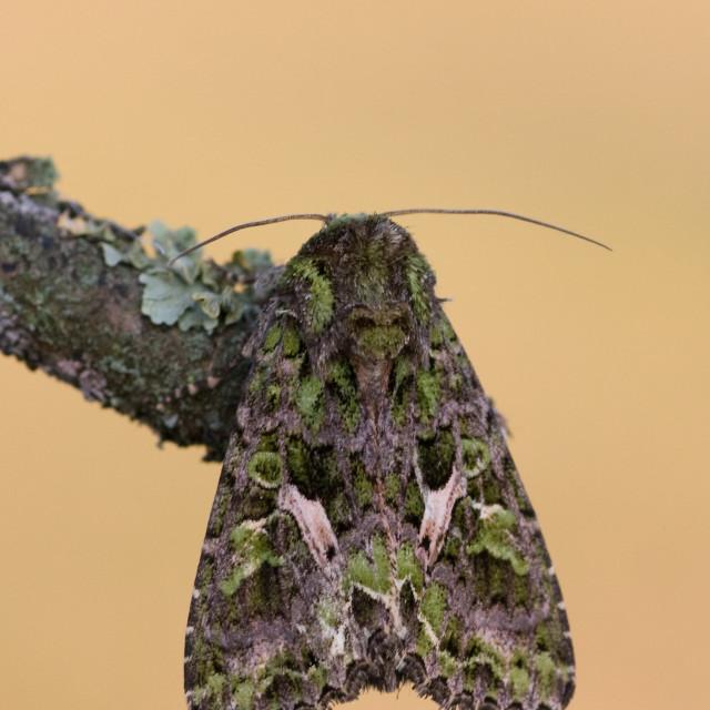 """Orache Moth, Trachea atriplicis"" stock image"