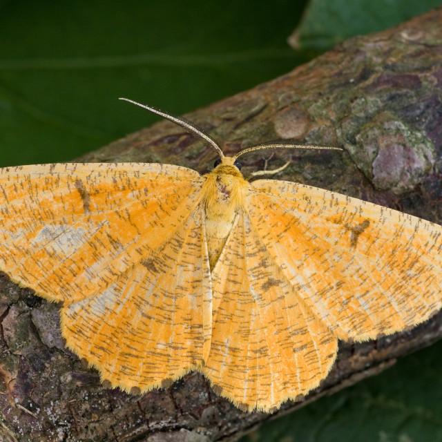 """Orange moth, Angerona prunaria"" stock image"