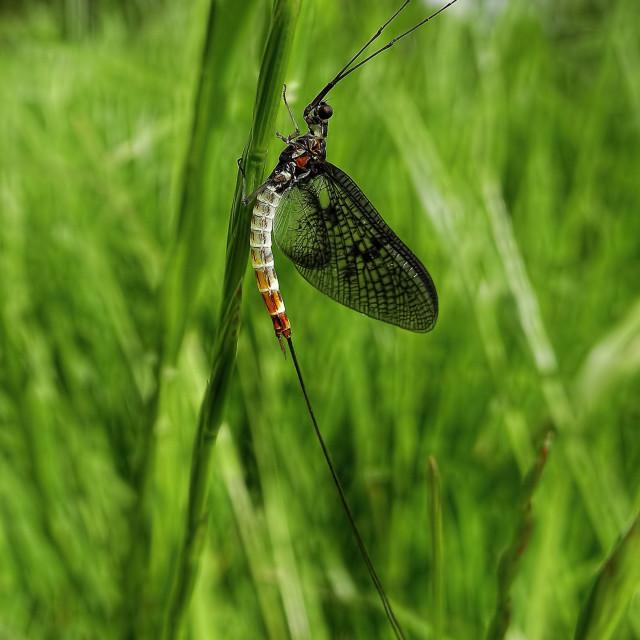 """Mayfly, Ephemera danica."" stock image"