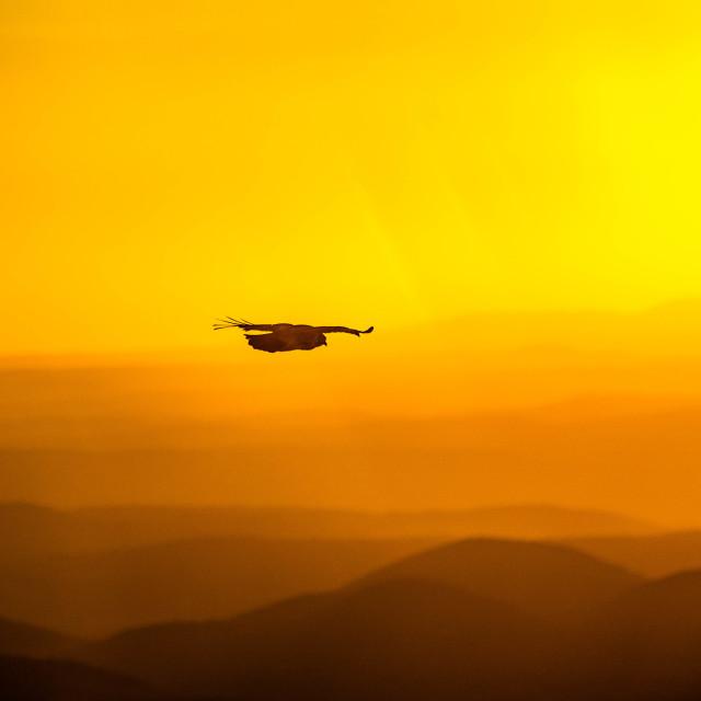 """""""Hawk in Flight in a Sunset Sky"""" stock image"""