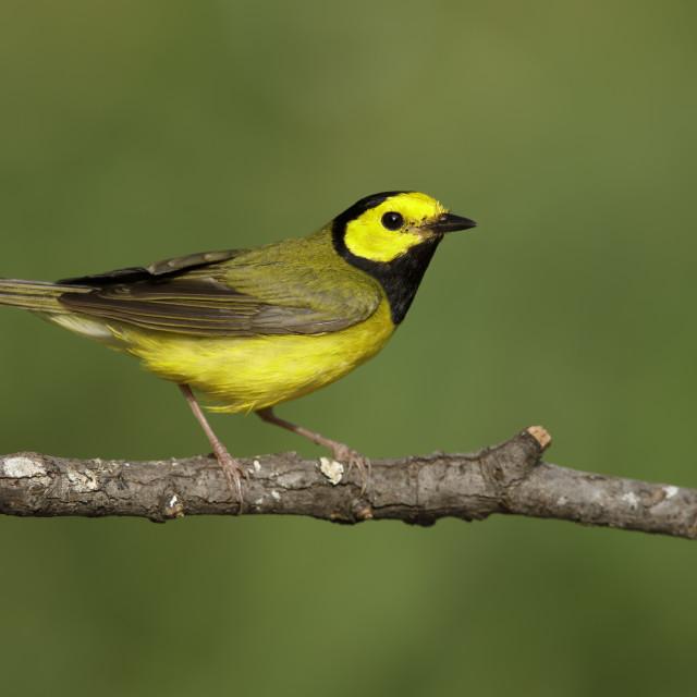 """Hooded Warbler, Setophaga citrina"" stock image"