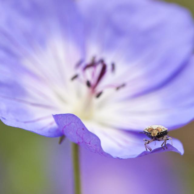 """""""Wants, Bug, Heteroptera"""" stock image"""