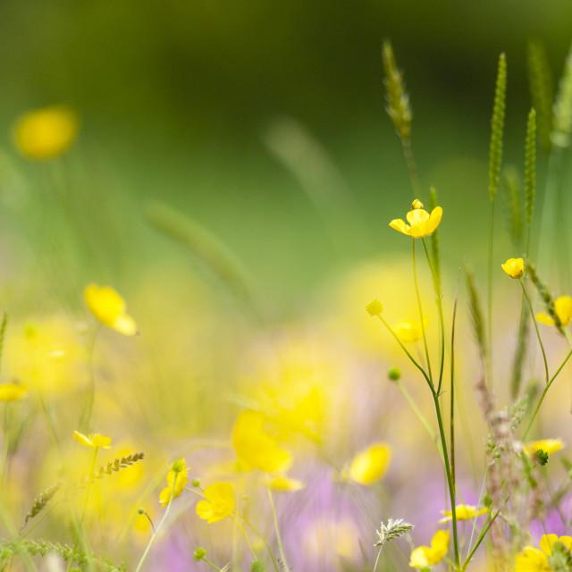 """Boterbloem, Buttercup, Ranunculus"" stock image"