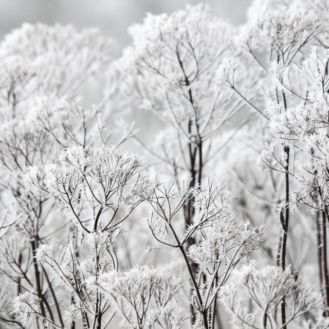 """Close up of plant covered in soft rime"" stock image"